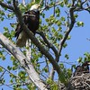 Bald Eagle with juv  in nest - Magee Marsh Boardwalk, Lucas, OH - 18 May 2016a
