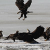 Bald Eagles fighting over fish carcass - Eastern River, Dresden, ME - 4 Apr 2014i
