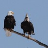Bald Eagles - Hill Road, Clinton, ME - 6 Mar 2015