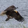 Bald Eagle with fish being chased off by RWBB - Metzger Marsh Wildlife Area, Lucas, OH - 16 May 2016a