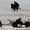 Bald Eagles fighting over fish carcass - Eastern River, Dresden, ME - 4 Apr 2014l