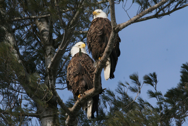 Bald Eagle pair - Burleigh St, Waterville, ME - 2 March 2012