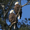 Bald Eagle pair - Burleigh St, Waterville, ME - 2 March 2012d