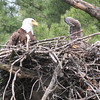 Bald Eagle and chick - at nest Messalonskee St, Waterville, ME - 15 May 2012