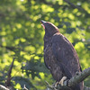 Bald Eagle juv - at nest Messalonskee St, Waterville, ME - 12 July 2012b