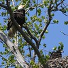 Bald Eagle with juv  in nest - Magee Marsh Boardwalk, Lucas, OH - 18 May 2016