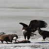 Bald Eagles fighting over fish carcass - Eastern River, Dresden, ME - 4 Apr 2014g
