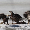 Bald Eagles fighting over fish carcass - Eastern River, Dresden, ME - 4 Apr 2014a