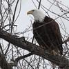 Bald Eagle - stream at Mill Island Park, Fairfield, ME - 17 Feb 2015c