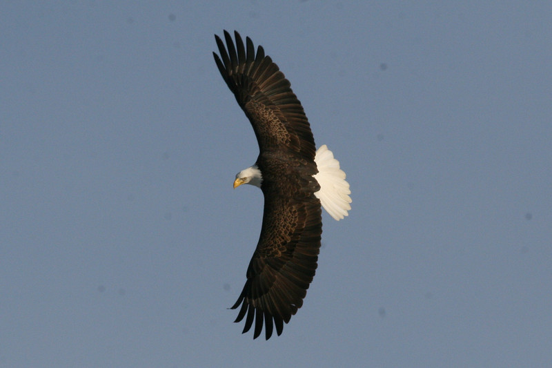 Bald Eagle - river, Green Point WMA, Dresden, ME - 25 Jan 2012a