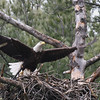 Bald Eagle in nest - from Messalonskee Stream side, Waterville, ME - 11 April 2011b