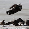 Bald Eagles fighting over fish carcass - Eastern River, Dresden, ME - 4 Apr 2014m