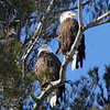 Bald Eagle pair - Burleigh St, Waterville, ME - 3 March 2011best