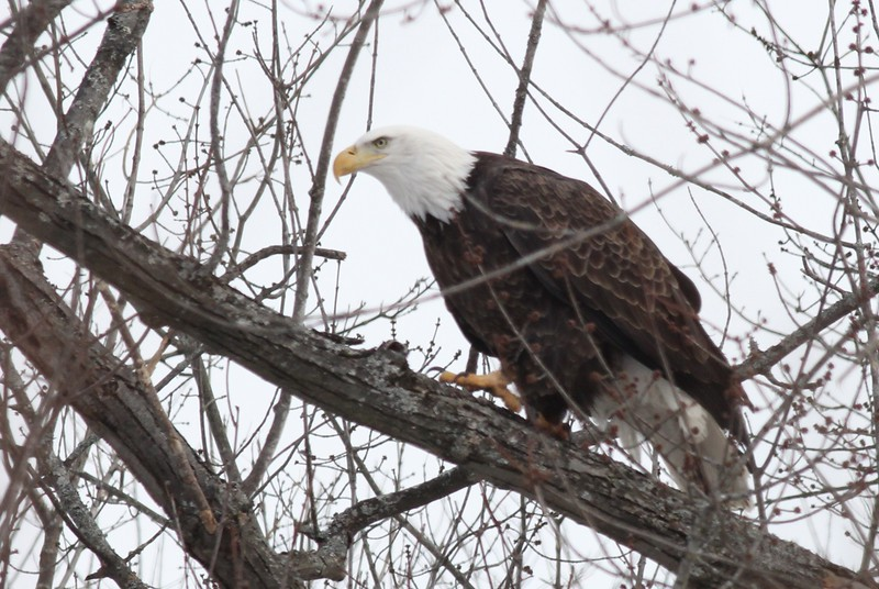 Bald Eagle - stream at Mill Island Park, Fairfield, ME - 17 Feb 2015d