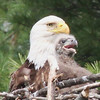 Bald Eagle and chick - at nest Messalonskee St, Waterville, ME - 15 May 2012a