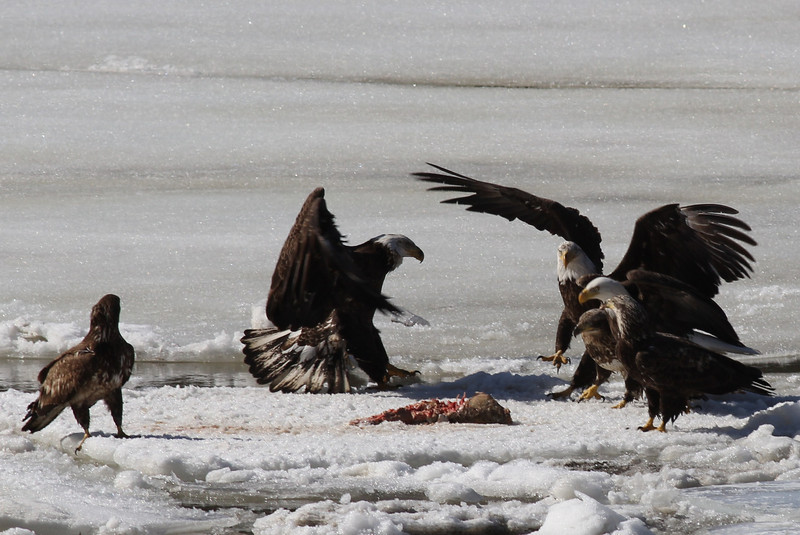 Bald Eagles fighting over fish carcass - Eastern River, Dresden, ME - 4 Apr 2014o