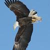 Bald Eagle flying best - Hatch Hill Land Fill, Augusta, ME - 24 Jan 2009