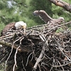Bald Eagle with chick - at nest Messalonskee St, Waterville, ME - 15 May 2012