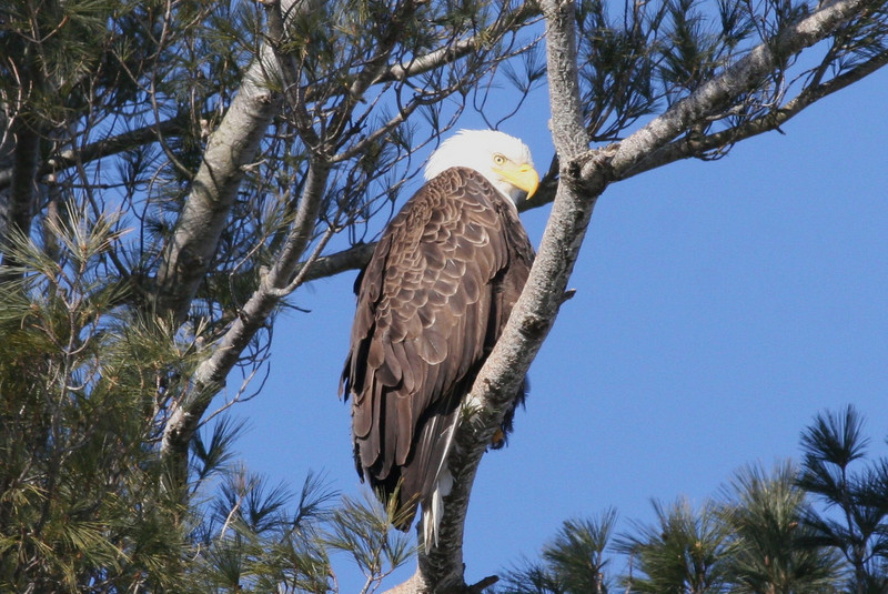 Bald Eagle - Burleigh St, Waterville, ME - 24 Feb 2011a