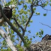 Bald Eagle with juv  in nest - Magee Marsh Boardwalk, Lucas, OH - 18 May 2016c
