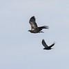 Bald Eagle harassed by Raven - Hamilton Pond, Norway Dr, Bar Harbor, ME - 14 Apr 2018b