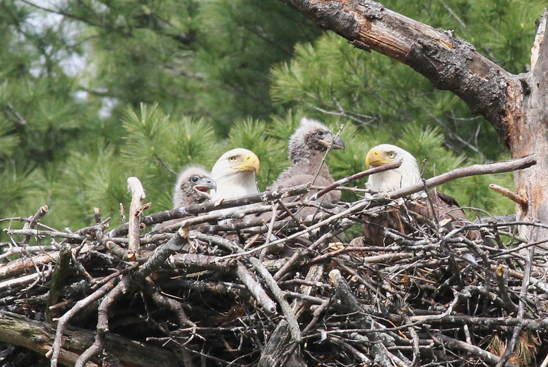 Bald Eagle family - at nest Messalonskee St, Waterville, ME - 15 May 2012