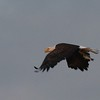Bald Eagle carrying fish - North Bay, Great Pond, Rome, ME - 15 Sept 2017