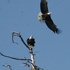 Bald Eagle pair 1 - Great Pond, Rome, ME - 24 May 2009