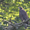 Bald Eagle juv - at nest Messalonskee St, Waterville, ME - 12 July 2012c