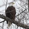 Bald Eagle - stream at Mill Island Park, Fairfield, ME - 17 Feb 2015