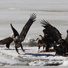 Bald Eagles fighting over fish carcass - Eastern River, Dresden, ME - 4 Apr 2014e
