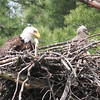 Bald Eagle with chick - at nest Messalonskee St, Waterville, ME - 15 May 2012a