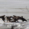 Bald Eagles fighting over fish carcass - Eastern River, Dresden, ME - 4 Apr 2014