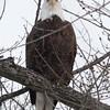 Bald Eagle - stream at Mill Island Park, Fairfield, ME - 17 Feb 2015b