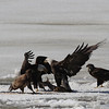 Bald Eagles fighting over fish carcass - Eastern River, Dresden, ME - 4 Apr 2014h
