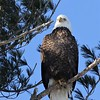Bald Eagle adult - Hatch Hill Landfill, Augusta, ME - 16 Jan 2018c