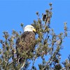 Bald Eagle - Quarry Road and North St, Waterville, ME - 17 Dec 2017a