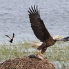 Bald Eagle with fish being chased off by RWBB - Metzger Marsh Wildlife Area, Lucas, OH - 16 May 2016