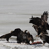 Bald Eagles fighting over fish carcass - Eastern River, Dresden, ME - 4 Apr 2014c