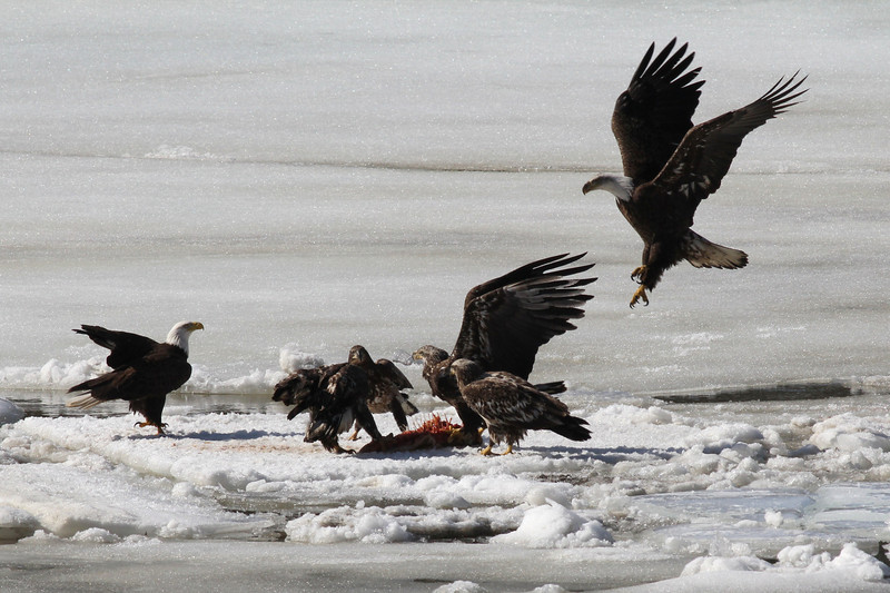 Bald Eagles fighting over fish carcass - Eastern River, Dresden, ME - 4 Apr 2014b