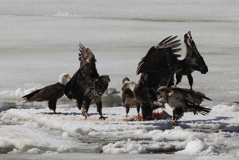 Bald Eagles fighting over fish carcass - Eastern River, Dresden, ME - 4 Apr 2014d
