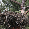 Bald Eagle in nest - from Messalonskee Stream side, Waterville, ME - 11 April 2011