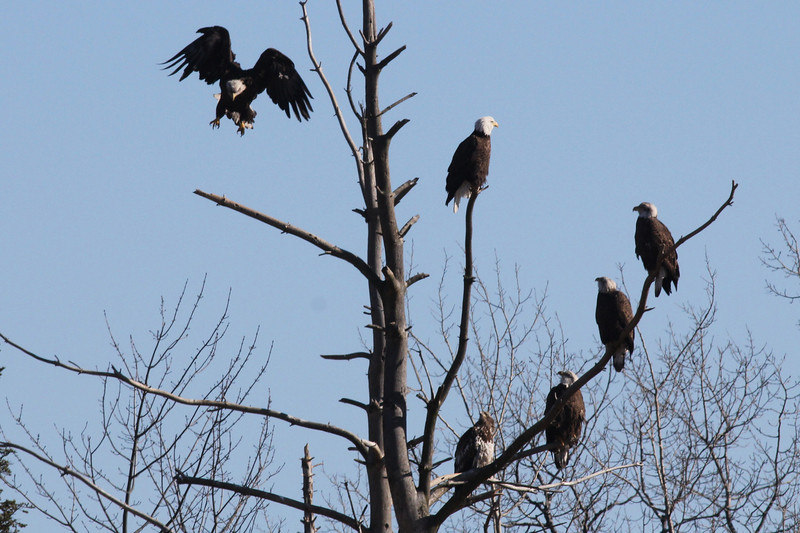 Bald Eagles of various ages - Hill Road, Clinton, ME - 5 Feb 2013
