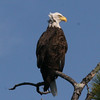 Bald Eagle - Hoyt Island South Channel, Great Pond, ME - 8 Oct 2011f