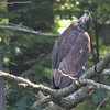 Bald Eagle juv - at nest Messalonskee St, Waterville, ME - 12 July 2012g