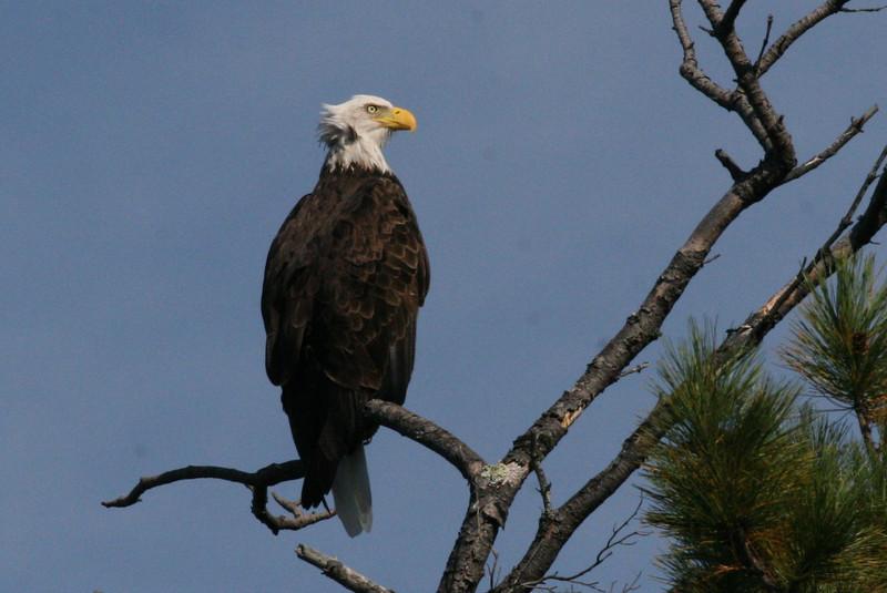 Bald Eagle - Hoyt Island South Channel, Great Pond, ME - 8 Oct 2011