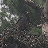 Bald Eagle fledgling - at nest Messalonskee Ave, Waterville, ME - 29 June 2011