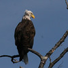 Bald Eagle - Hoyt Island South Channel, Great Pond, ME - 8 Oct 2011e
