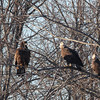 Imm Bald Eagles at Davis Finch's carcass pile -  91 South Rd, East Kingston, NH - 8 Feb 2014a