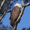 Bald Eagle - Burleigh St, Waterville, ME - 24 Feb 2011